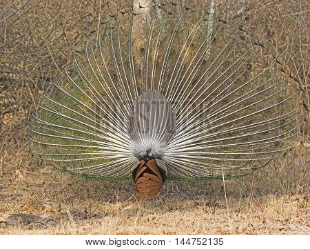 Rear View of a Peacock Displaying in Nagarhole National Park in India