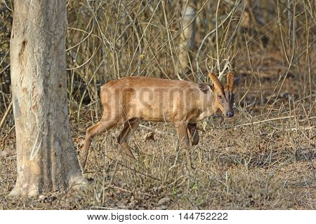 Muntjac in the Forest of Nagarhole National Park in India