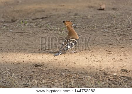 Hoopoe in the Forest in Nagarhole National Park