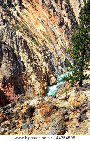 Rugged and tough pine tree clings to bare cliff overlooking the Yellowstone River in Yellowstone National Park.