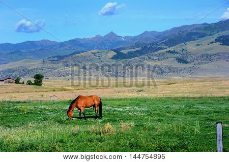 Lone horse grazes green pasture land in Paradise Valley at the foot of the Gallatin Mountain Range in Montana.
