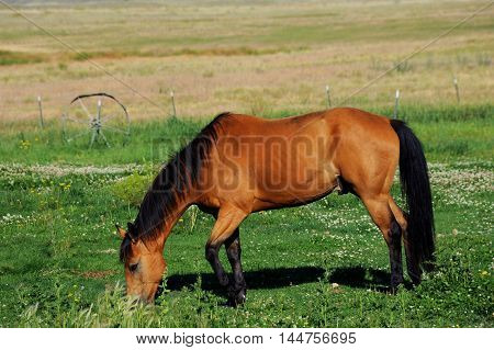 Horse eats in pasture with fence and old wagon wheel. Pasture is in Paradise Valley Montana.