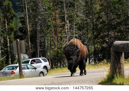 Automobiles stop traffic to take photos of a bison walking down the middle of the highway in Yellowtone National Park.