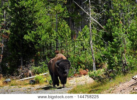 Large bison with horns moves along wooded glade in Yellowstone National Park.