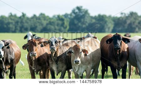 Close up view of Bos indicus-crossed commercial cattle in a southern pasture