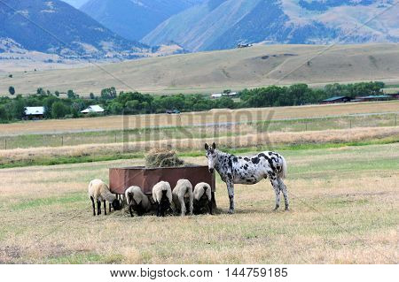 Group of sheep feed peacefully while donkey guards and watches over them. They are on a farm in Happy Valley Wyoming.