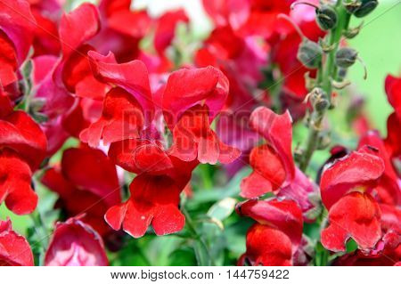Garden in Montana is filled with beautiful red clusters of Snapdragons.