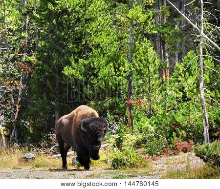 Bison moves slowly along the edge of the forest in Yellowstone National Park. Bison has head up and has long curved horns.