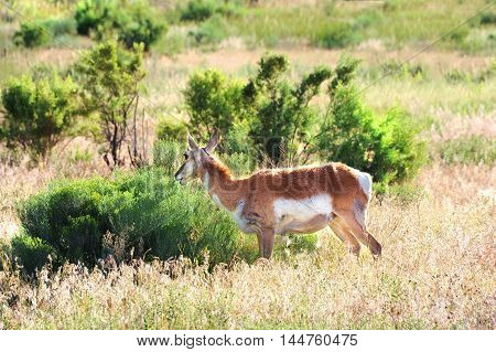 Prong horn feeds alone in an open meadow in Yellowstone National Park in Wyoming.