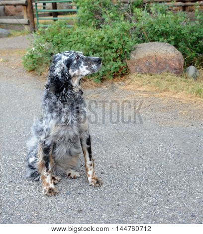 Black & white spotted dog sits outside on a farm in Happy Valley Montana. His head is up and he is looking sideways.