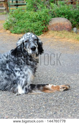 Adorable black and white spotted dog sits on a farm in Happy Valley Montana. He has a thoughtful and a little sad look on his face.