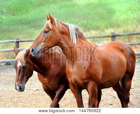 Two chestnut colored horses stand side-by-side in a rustic pen in Happy Valley Montana.