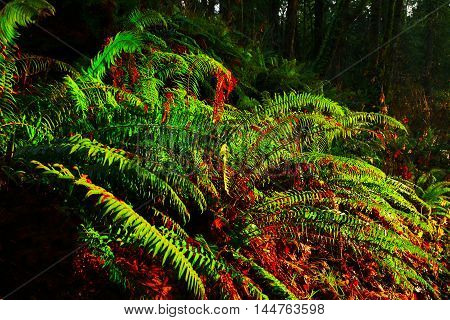 a picture of an exterior Pacific Northwest forest of sword ferns in winter