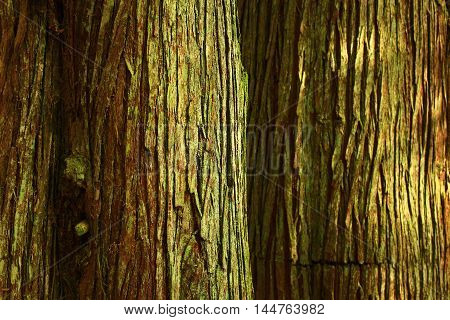 a picture of an exterior Pacific Northwest forest of Western  red cedars tree trunks