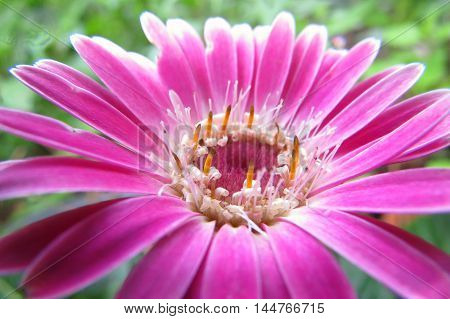 Pink Gerbera flower in country cottage garden