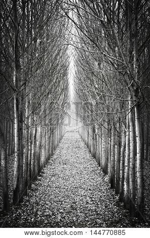 In a row poplar trees black and white image.