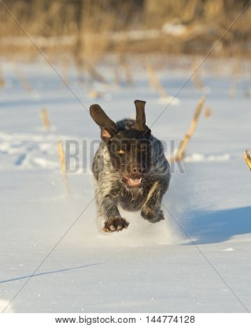 A hunting dog out running in the snow