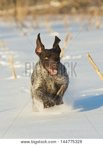 A hunting dog out pheasant hunting in the snow