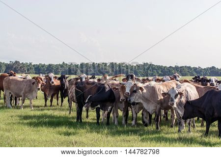 Group of commercial brood cows covered in horn flies in a southern pasture