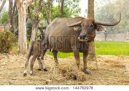 Buffalo are breastfeeding Thailand apply design and background.