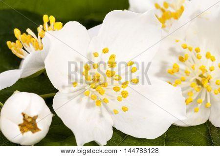 Beautiful white jasmine flowers with bud close up.