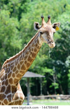 Close up giraffe on green tree background Thialand