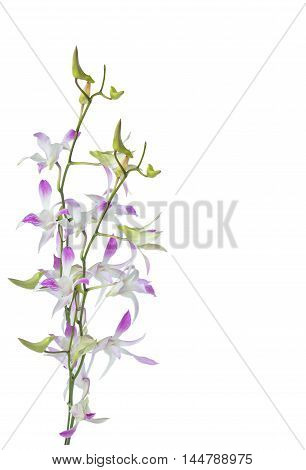 Purple Dendrobium orchids flowers isolated on white background
