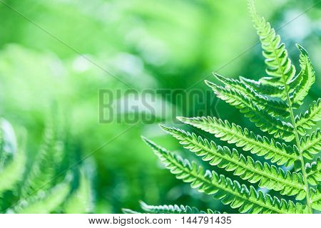 The green fern leaves close-up natural background