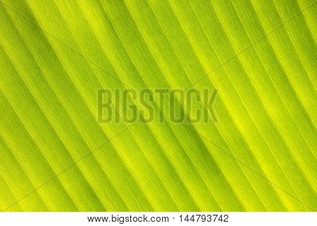 banana leaf pattern for design textures and background.