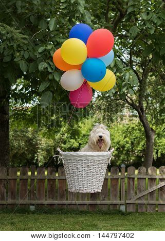 Young dog, Havanese flying with colorful balloons