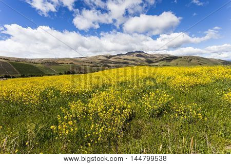 Canola fields cultivated with yellow flower in Ecuadorian Andes