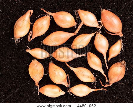 Raw gold onions over organic soil background