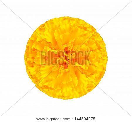 Marigold yellow Isolated on white background .