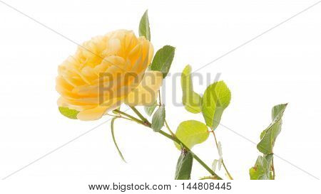 beautiful bright yellow fragrant delicate rose flower with green leaves and stems on a white background isolated
