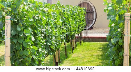 Fragment of vineyard with a ripening grapes on a background of old wine barrel