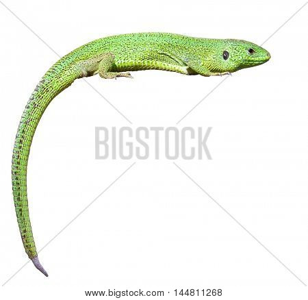 green lizard with a twisted tail. Isolated over white background