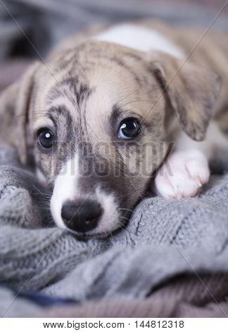Whippet puppy portrait