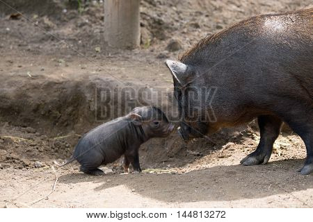 Pot bellied pig and piglet on ground
