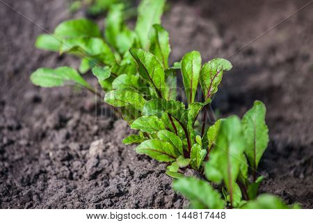 Young sprouted beet growing in open ground flat bed into the garden. Growing vegetables at home.
