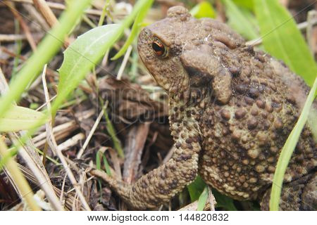 Toad Sitting In The Grass.