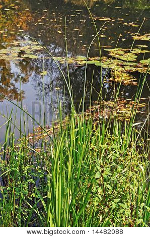 Rushy Riverbank