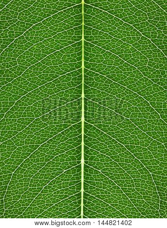 texture of green leaf with bright veins