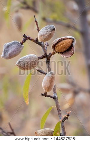 Ripe almond nuts on the branch of almond tree in early autumn. Ripe almonds on the tree branch. Vertical. Daylight.