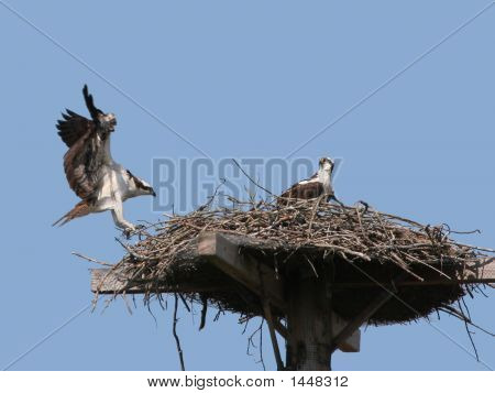 Honey I'M Home (Osprey Landing)