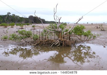 Mangrove swamp tree reflection at tropical beach