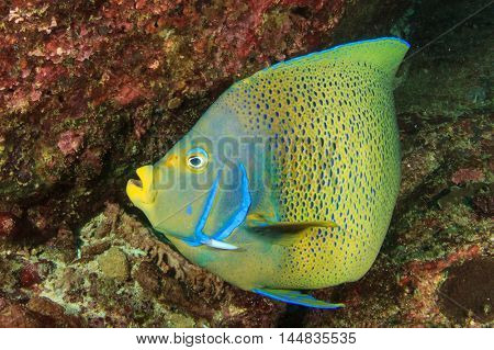 Koran Angelfish coral reef fish
