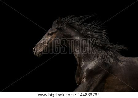 Black Horse portrait run isolated on black background