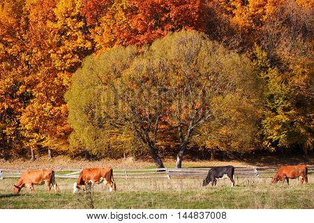 Cows Grazing in a pasture. A scenic autumn farmland landscape. Deciduous trees are turning a glorious color.