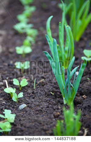 Sprouts Green Onions On A Bed
