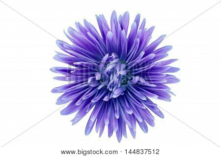 chrysanthemum blooming elegant flower on white background
